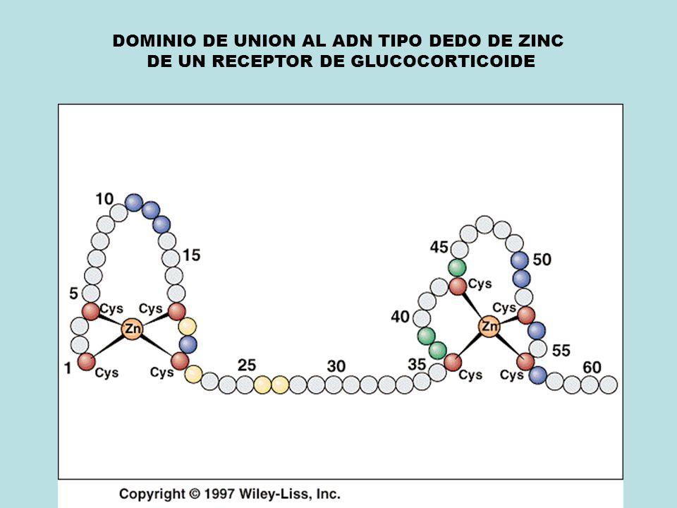 DOMINIO DE UNION AL ADN TIPO DEDO DE ZINC