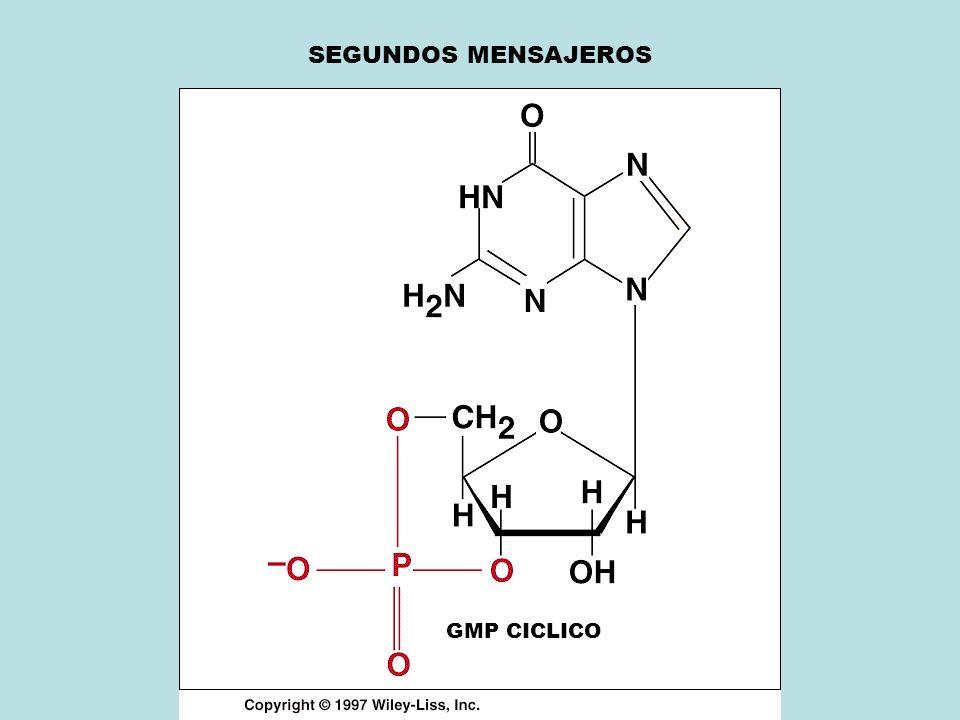 SEGUNDOS MENSAJEROS GMP CICLICO