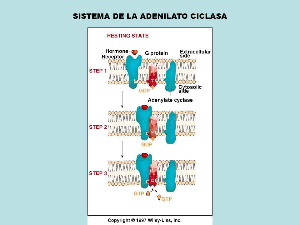 SISTEMA DE LA ADENILATO CICLASA
