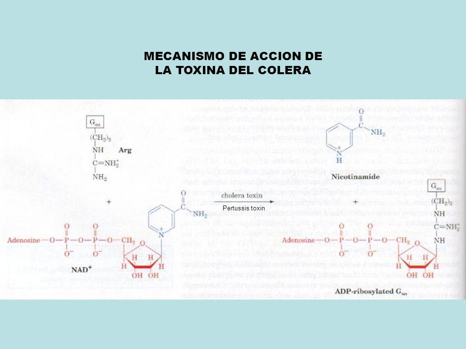 MECANISMO DE ACCION DE LA TOXINA DEL COLERA Pertussis toxin