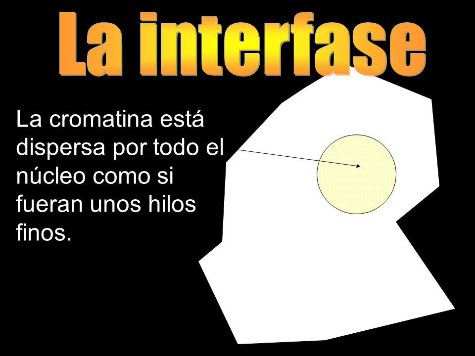 La interfase La cromatina está dispersa por todo el núcleo como si fueran unos hilos finos.
