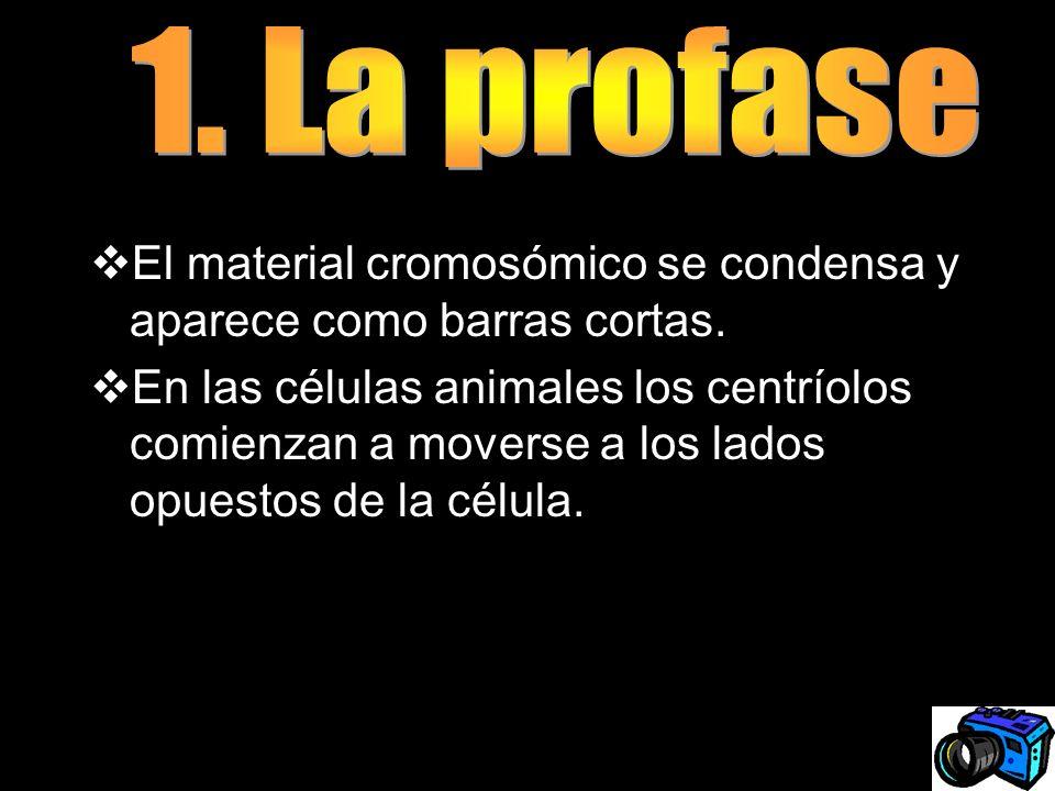 1. La profaseEl material cromosómico se condensa y aparece como barras cortas.