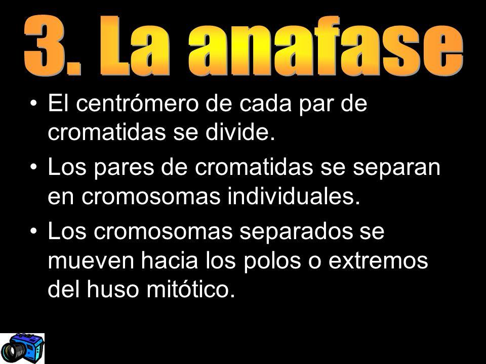 3. La anafaseEl centrómero de cada par de cromatidas se divide. Los pares de cromatidas se separan en cromosomas individuales.