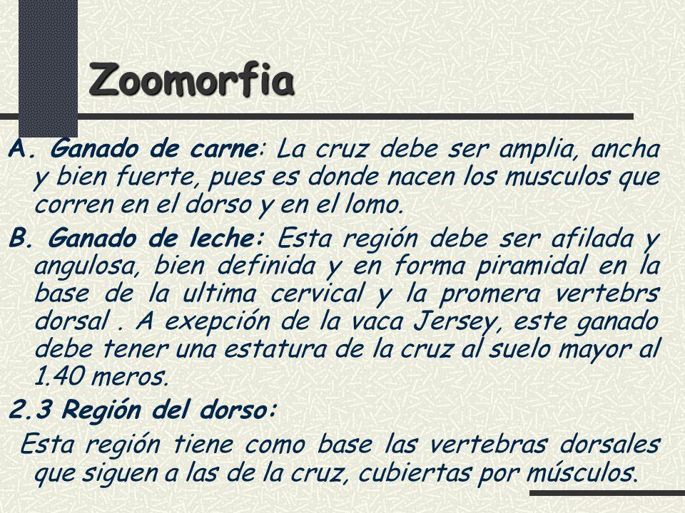Zoomorfia A. Ganado de carne: La cruz debe ser amplia, ancha y bien fuerte, pues es donde nacen los musculos que corren en el dorso y en el lomo.