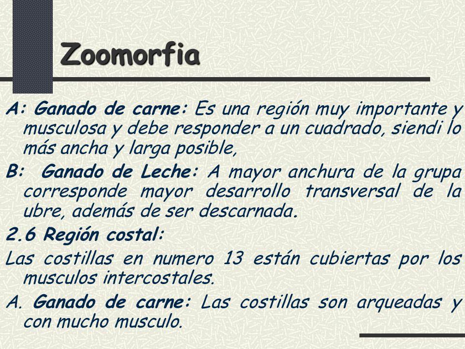 Zoomorfia A: Ganado de carne: Es una región muy importante y musculosa y debe responder a un cuadrado, siendi lo más ancha y larga posible,