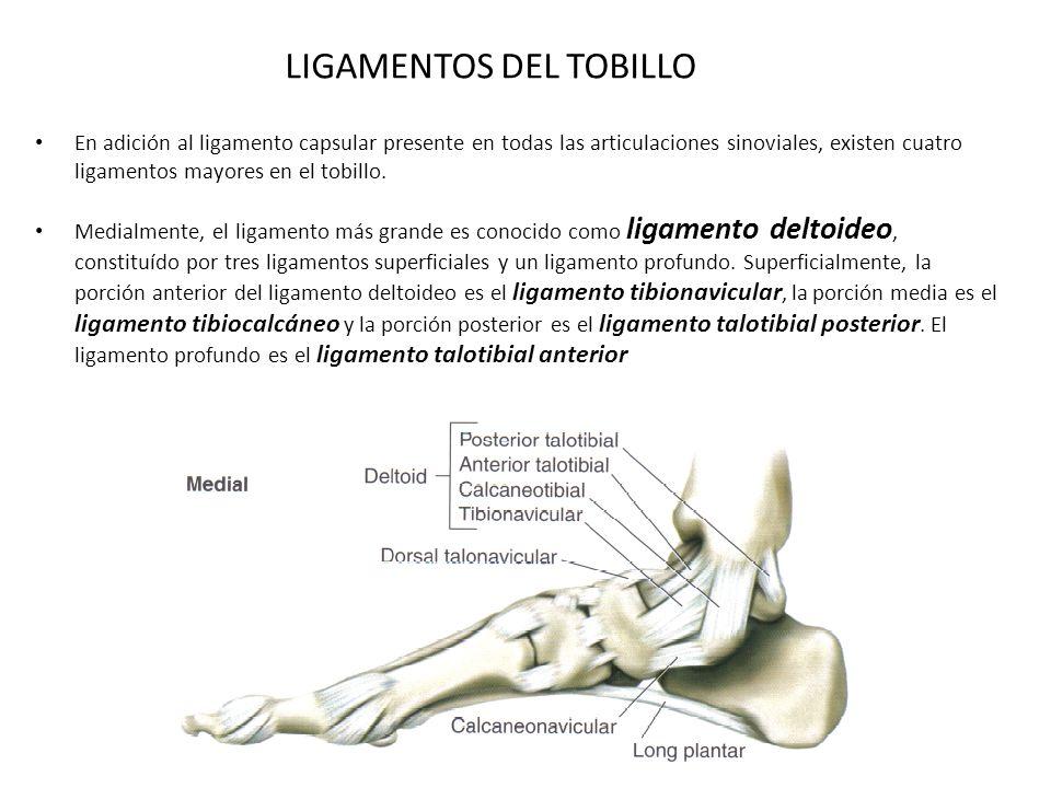 Bonito Cardenal Anatomía Ligamento Patrón - Imágenes de Anatomía ...