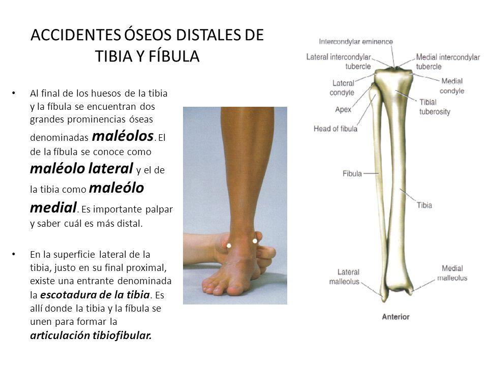 Vistoso Anatomía Maléolo Medial Modelo - Anatomía de Las Imágenesdel ...