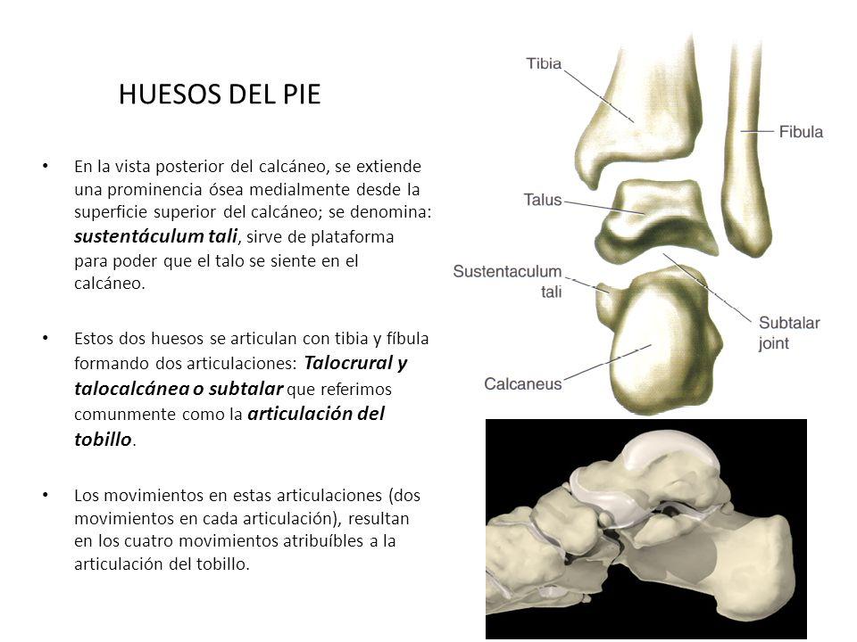 EL TOBILLO Y EL PIE Alejandro Gómez Rodas - ppt video online descargar