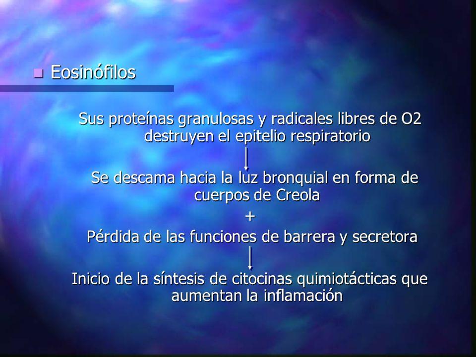 Eosinófilos Sus proteínas granulosas y radicales libres de O2 destruyen el epitelio respiratorio.