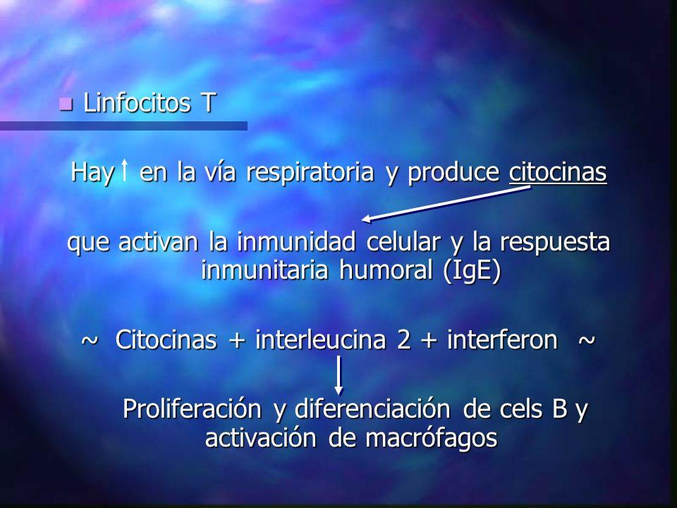 Hay en la vía respiratoria y produce citocinas