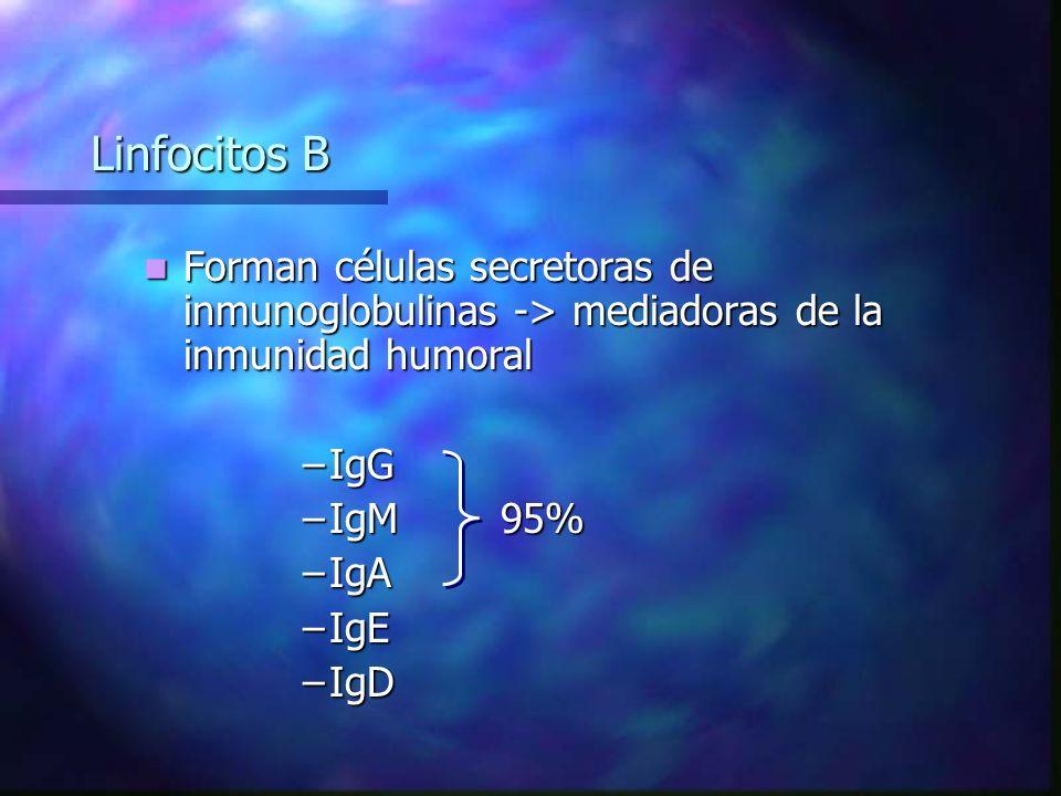 Linfocitos B Forman células secretoras de inmunoglobulinas -> mediadoras de la inmunidad humoral. IgG.