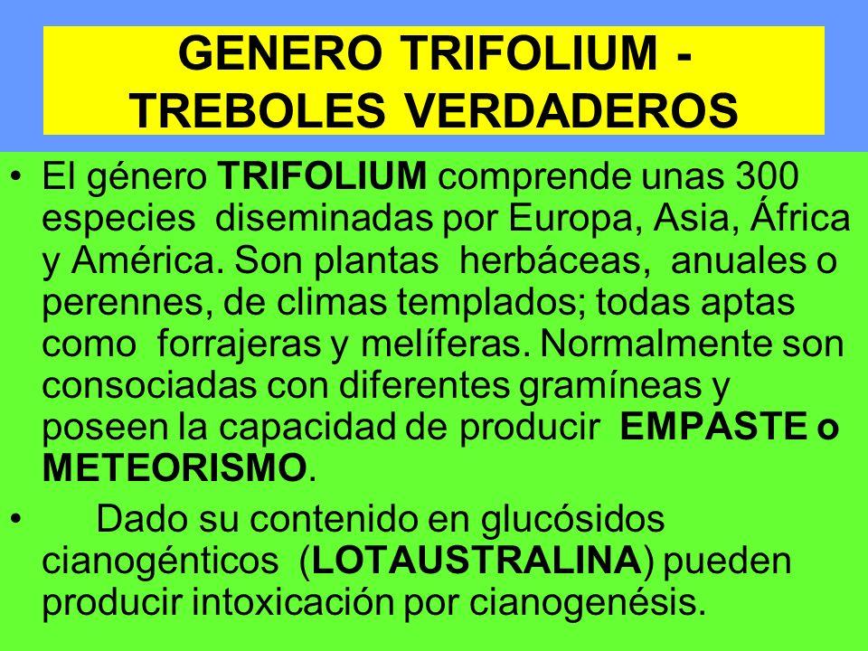 GENERO TRIFOLIUM - TREBOLES VERDADEROS