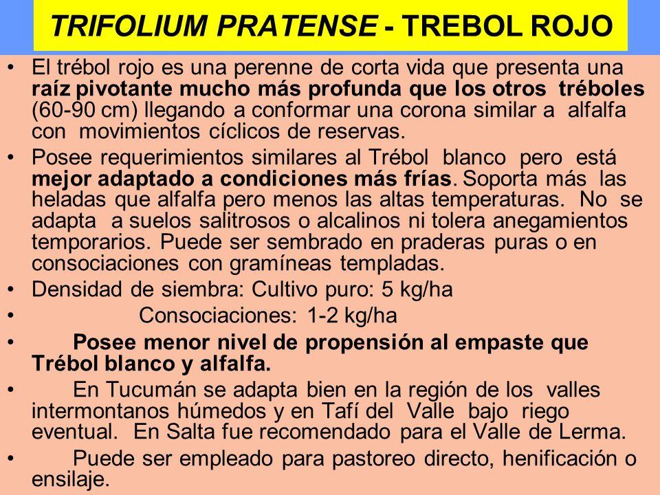 TRIFOLIUM PRATENSE - TREBOL ROJO