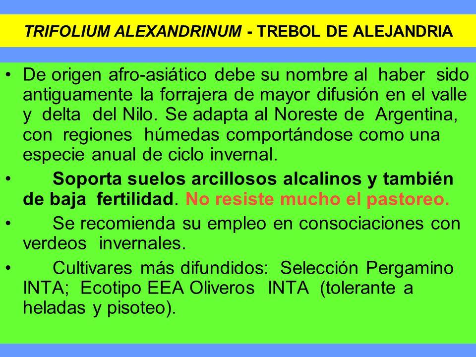 TRIFOLIUM ALEXANDRINUM - TREBOL DE ALEJANDRIA