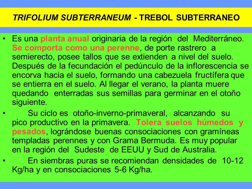 TRIFOLIUM SUBTERRANEUM - TREBOL SUBTERRANEO