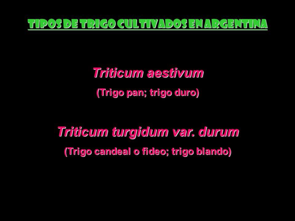 Triticum aestivum Triticum turgidum var. durum