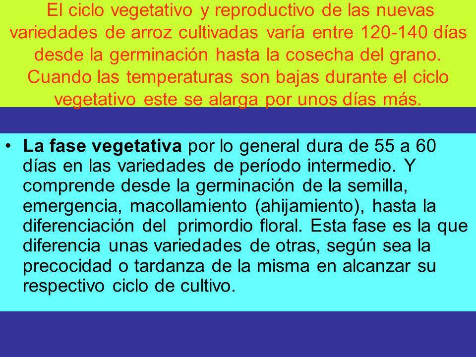 El ciclo vegetativo y reproductivo de las nuevas variedades de arroz cultivadas varía entre 120-140 días desde la germinación hasta la cosecha del grano. Cuando las temperaturas son bajas durante el ciclo vegetativo este se alarga por unos días más.