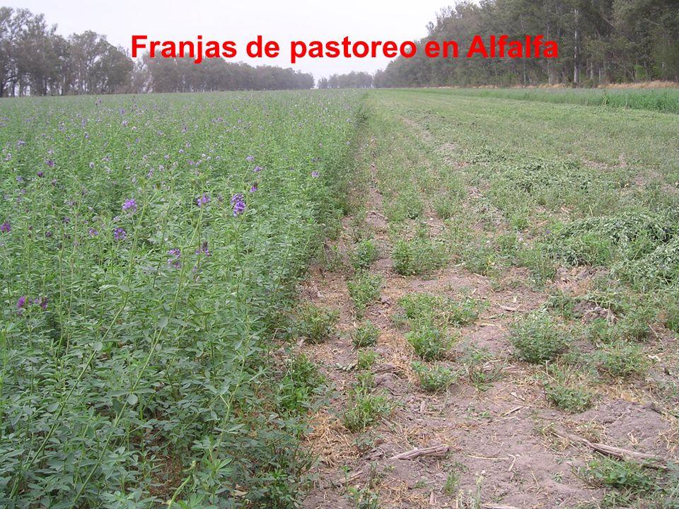 Franjas de pastoreo en Alfalfa