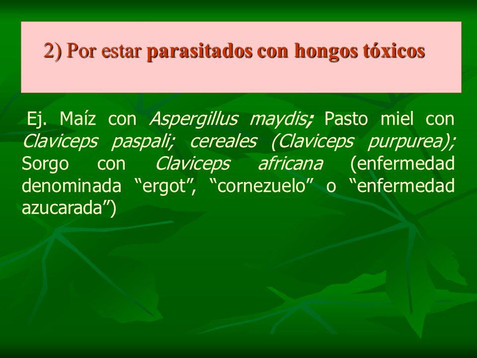 2) Por estar parasitados con hongos tóxicos