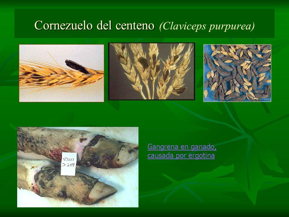 Cornezuelo del centeno (Claviceps purpurea)
