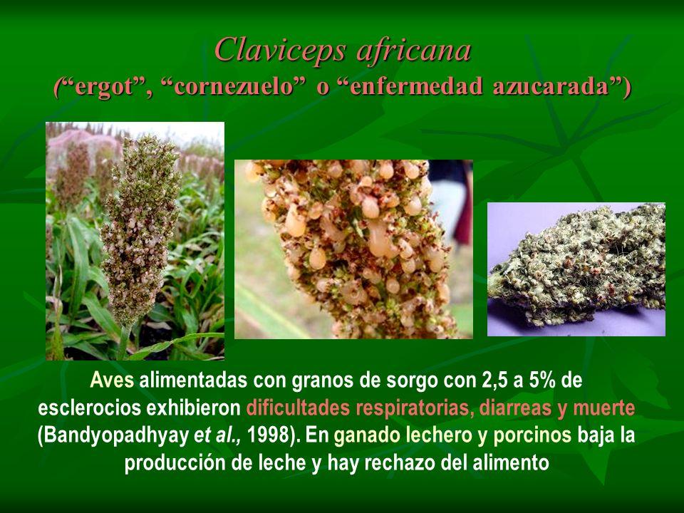 Claviceps africana ( ergot , cornezuelo o enfermedad azucarada )
