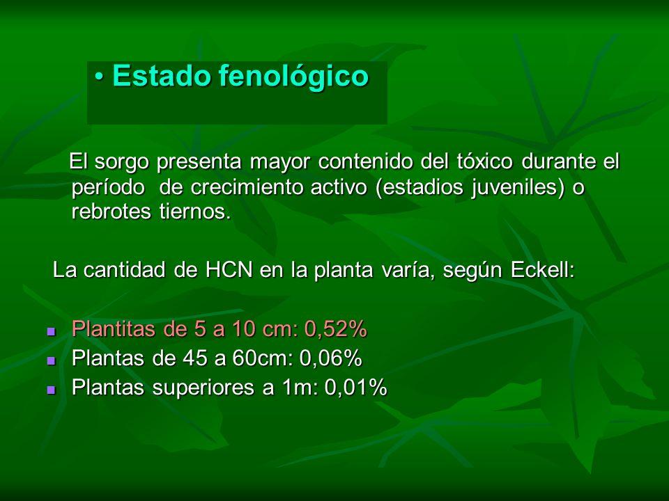 Estado fenológico El sorgo presenta mayor contenido del tóxico durante el período de crecimiento activo (estadios juveniles) o rebrotes tiernos.