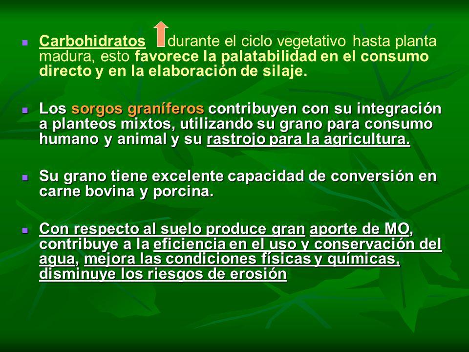 Carbohidratos durante el ciclo vegetativo hasta planta madura, esto favorece la palatabilidad en el consumo directo y en la elaboración de silaje.