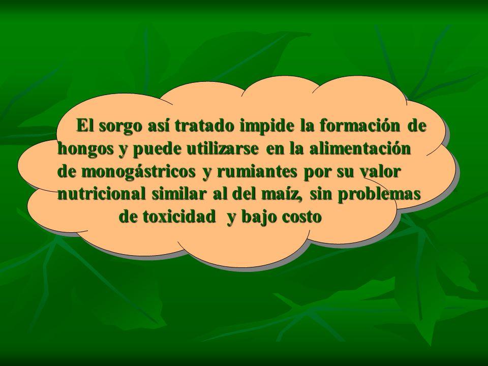 El sorgo así tratado impide la formación de hongos y puede utilizarse en la alimentación de monogástricos y rumiantes por su valor nutricional similar al del maíz, sin problemas