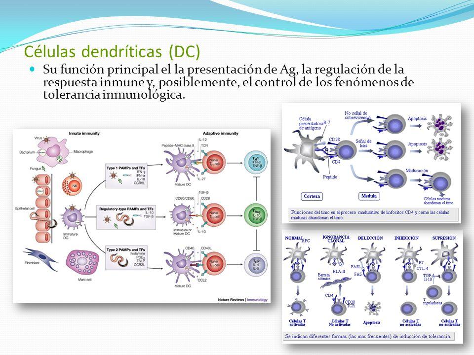 Células dendríticas (DC)