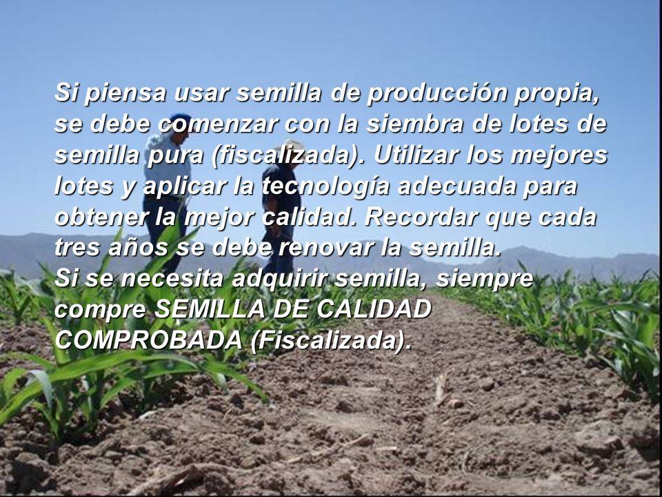 Si piensa usar semilla de producción propia, se debe comenzar con la siembra de lotes de semilla pura (fiscalizada). Utilizar los mejores lotes y aplicar la tecnología adecuada para obtener la mejor calidad. Recordar que cada tres años se debe renovar la semilla.