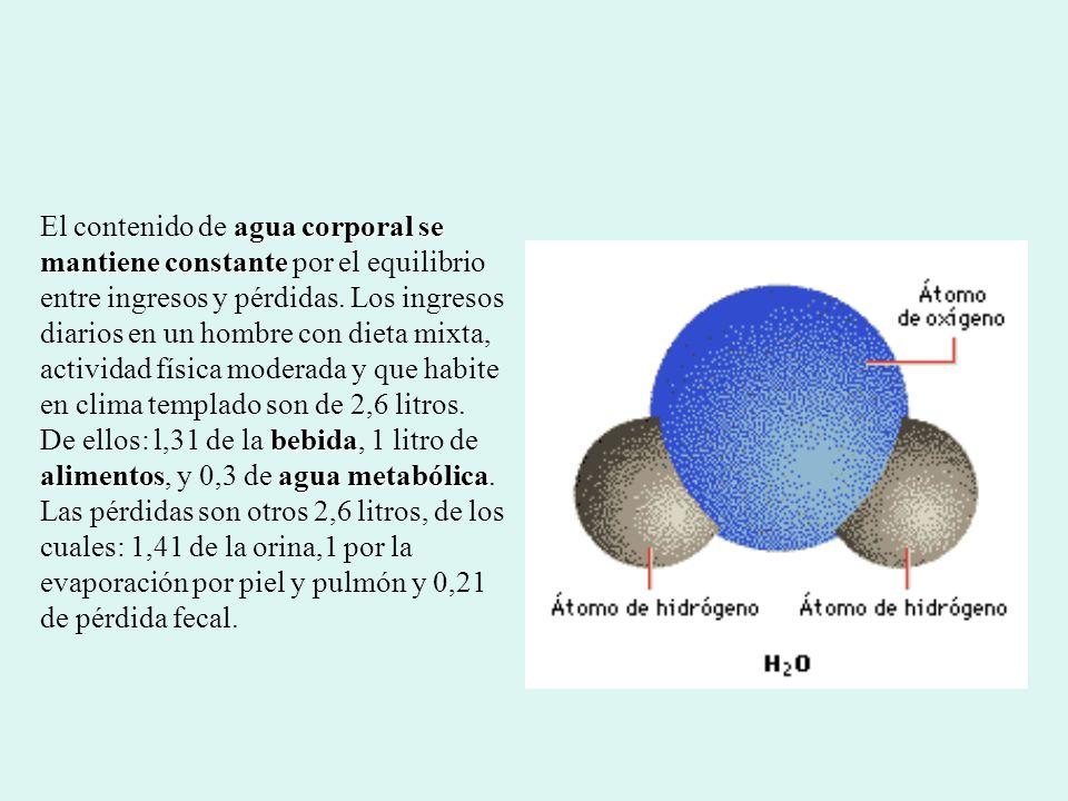 El contenido de agua corporal se mantiene constante por el equilibrio entre ingresos y pérdidas.