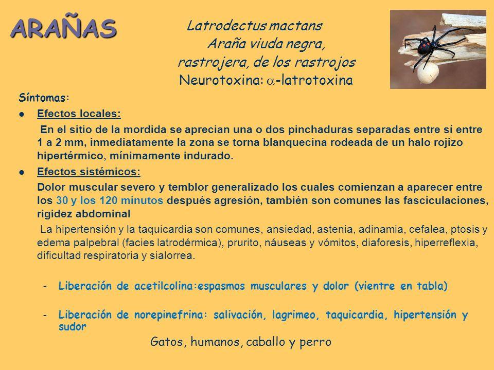 ARAÑAS Latrodectus mactans Araña viuda negra,