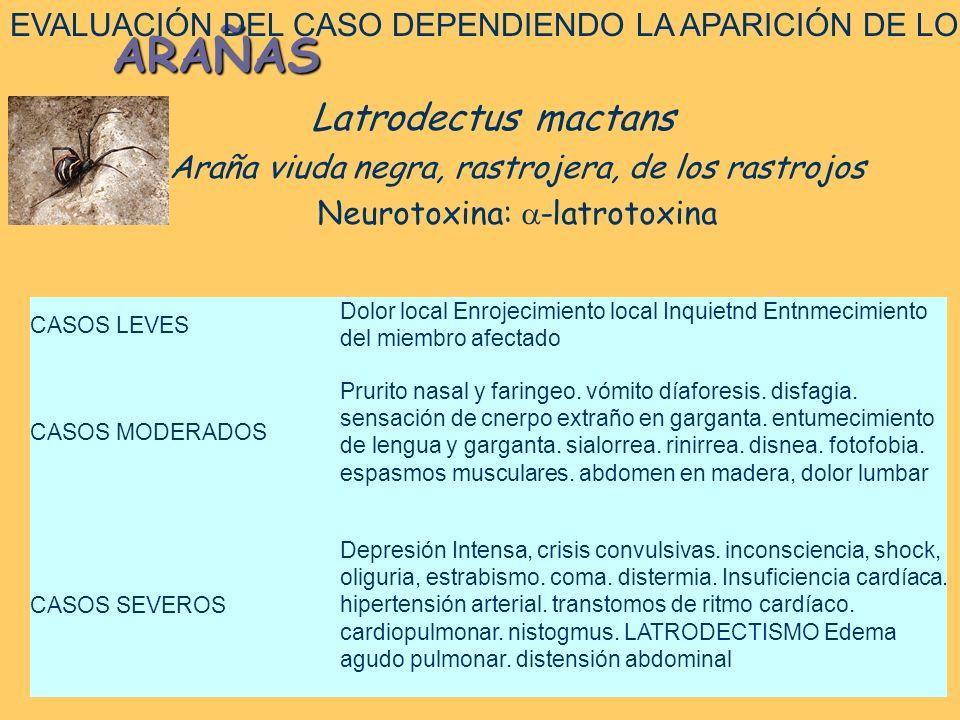 ARAÑAS Latrodectus mactans