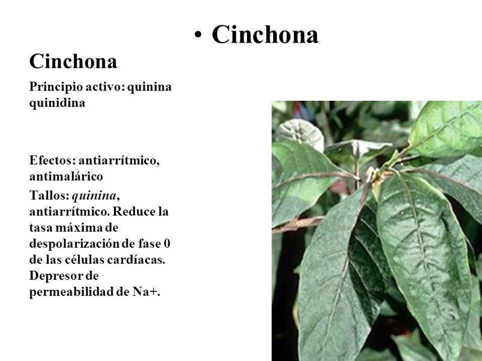 Cinchona Cinchona Principio activo: quinina quinidina