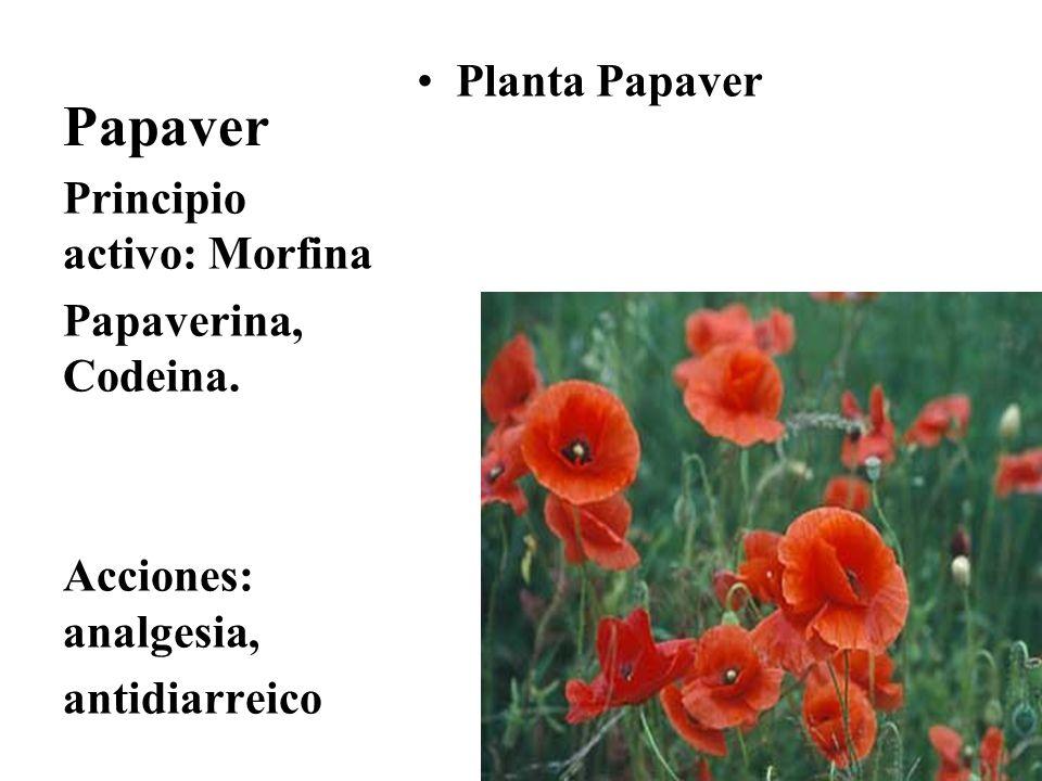 Papaver Planta Papaver Principio activo: Morfina Papaverina, Codeina.