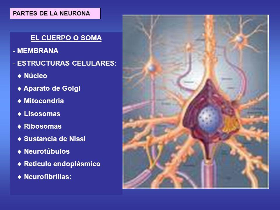 ESTRUCTURAS CELULARES:  Núcleo  Aparato de Golgi  Mitocondria
