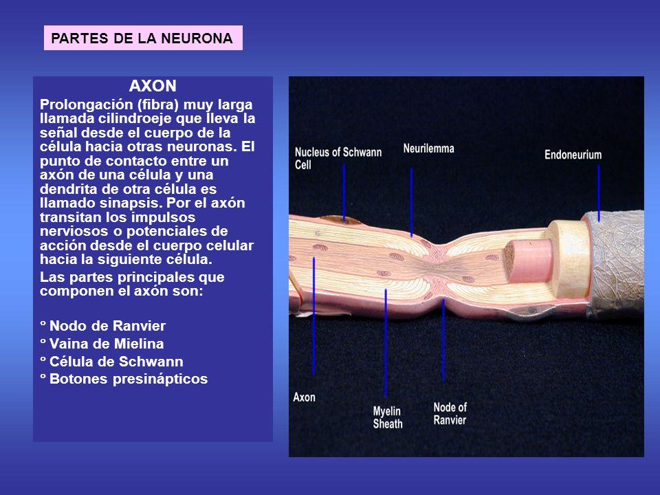 AXON PARTES DE LA NEURONA