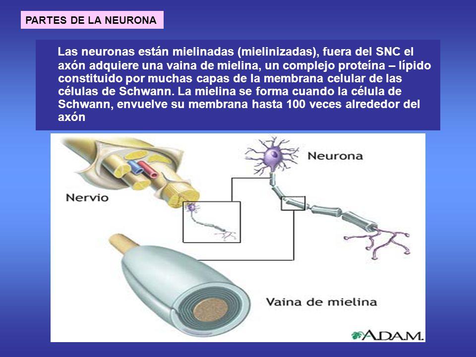 PARTES DE LA NEURONA