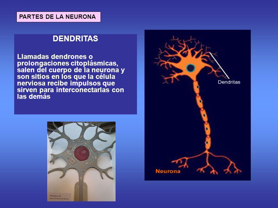 PARTES DE LA NEURONA DENDRITAS.