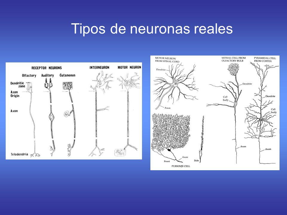 Tipos de neuronas reales