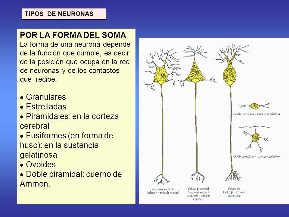  Piramidales: en la corteza cerebral