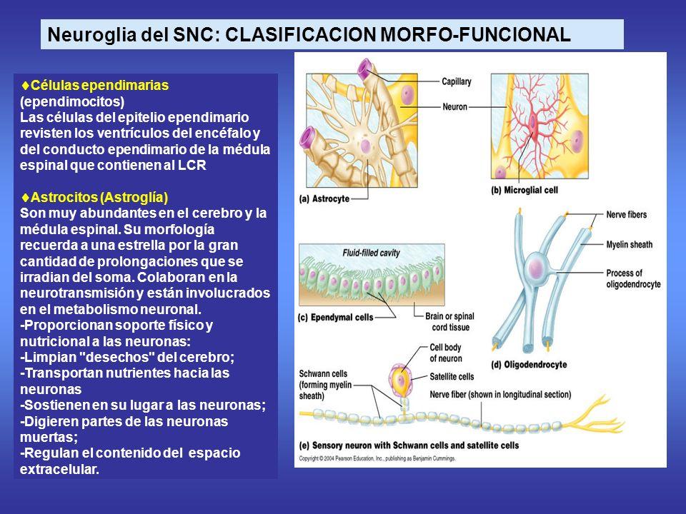 Neuroglia del SNC: CLASIFICACION MORFO-FUNCIONAL