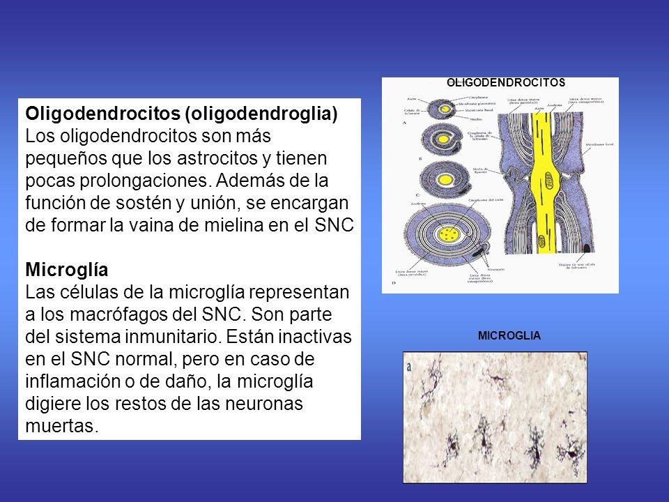 Oligodendrocitos (oligodendroglia)