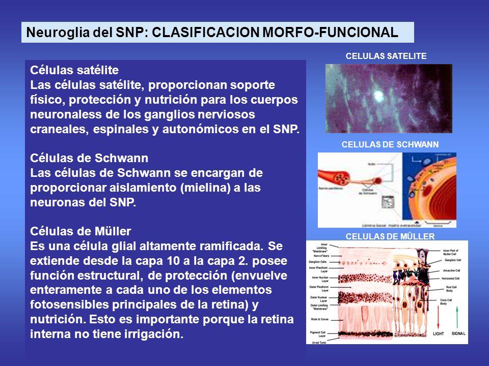 Neuroglia del SNP: CLASIFICACION MORFO-FUNCIONAL