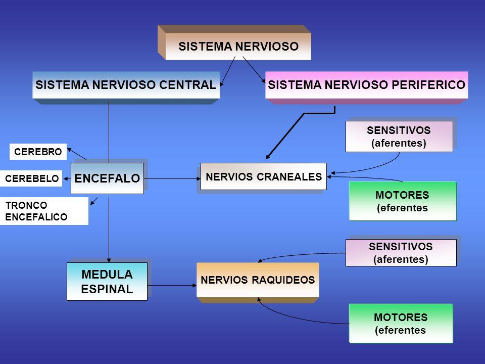 SISTEMA NERVIOSO CENTRAL SISTEMA NERVIOSO PERIFERICO