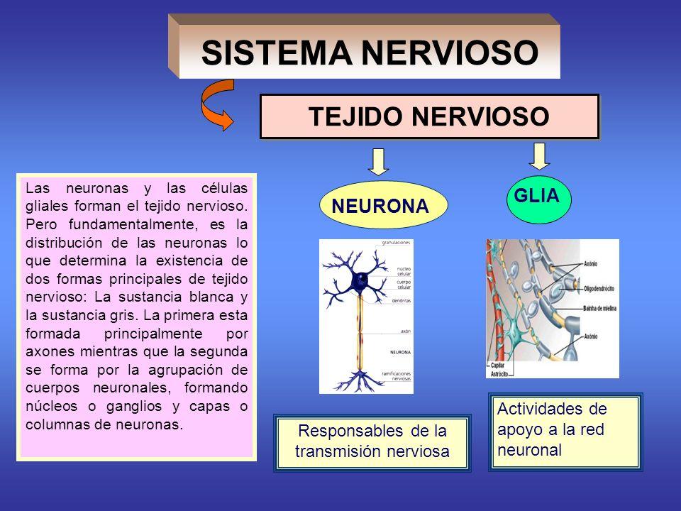 Responsables de la transmisión nerviosa