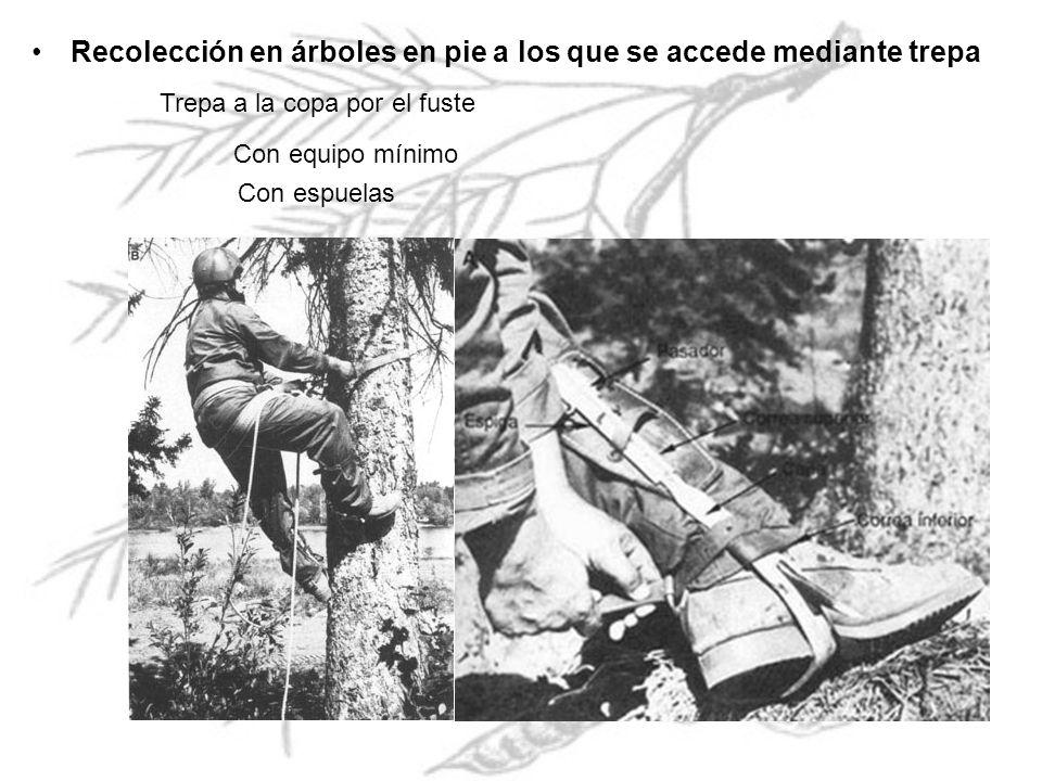 Recolección en árboles en pie a los que se accede mediante trepa