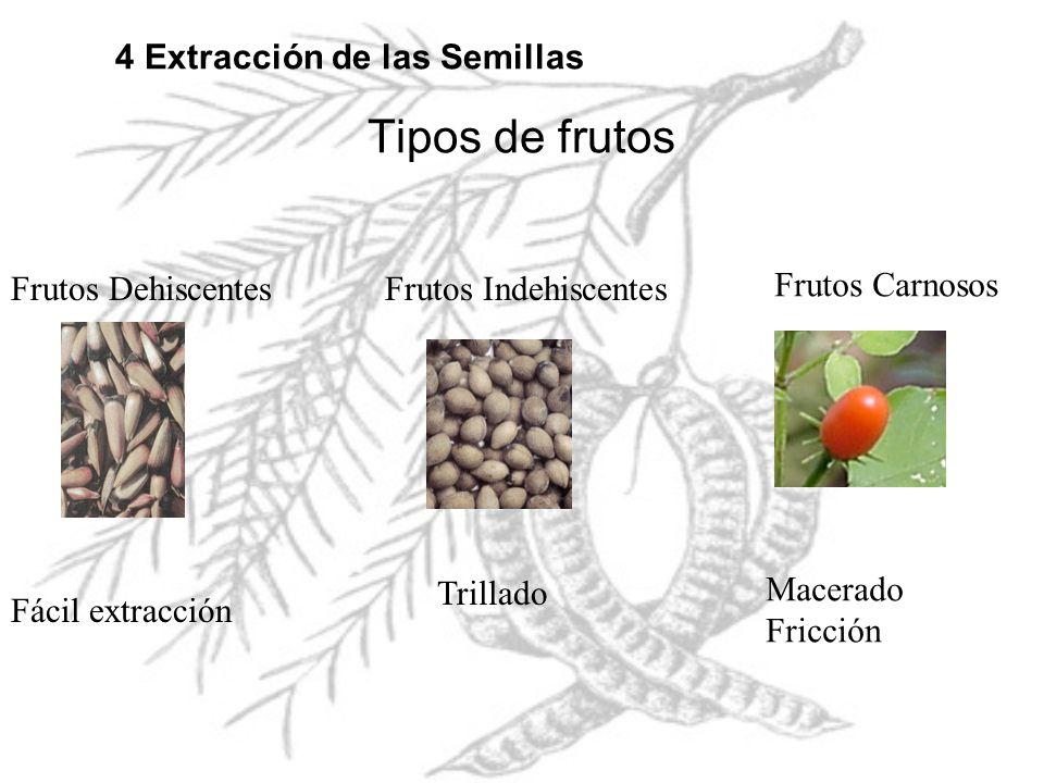 Tipos de frutos 4 Extracción de las Semillas Frutos Dehiscentes