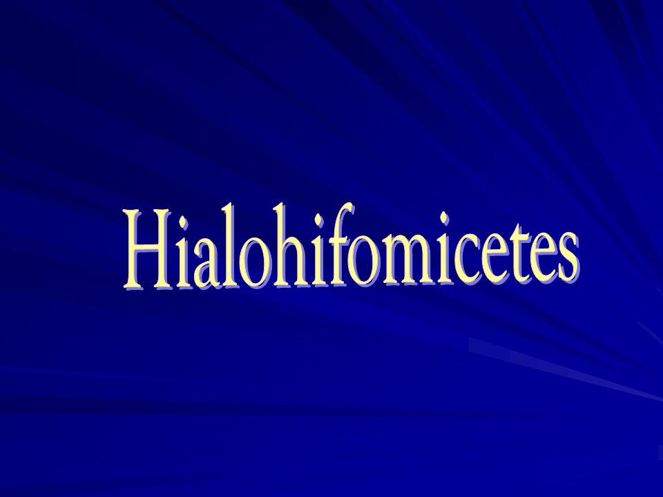 Hialohifomicetes