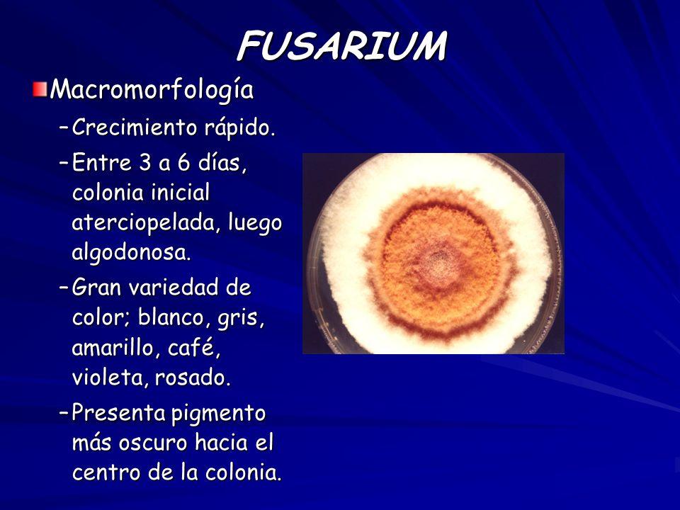 FUSARIUM Macromorfología Crecimiento rápido.